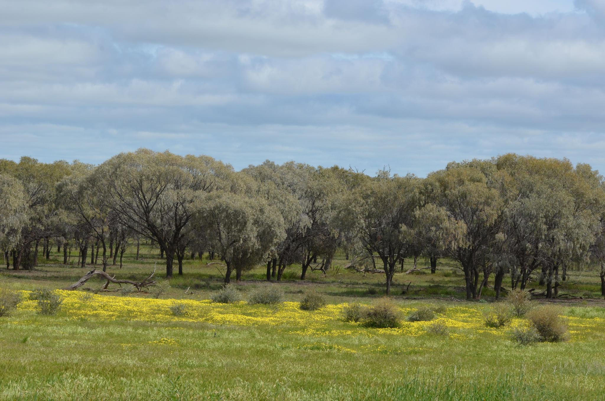 Weeping Myall Grasslands