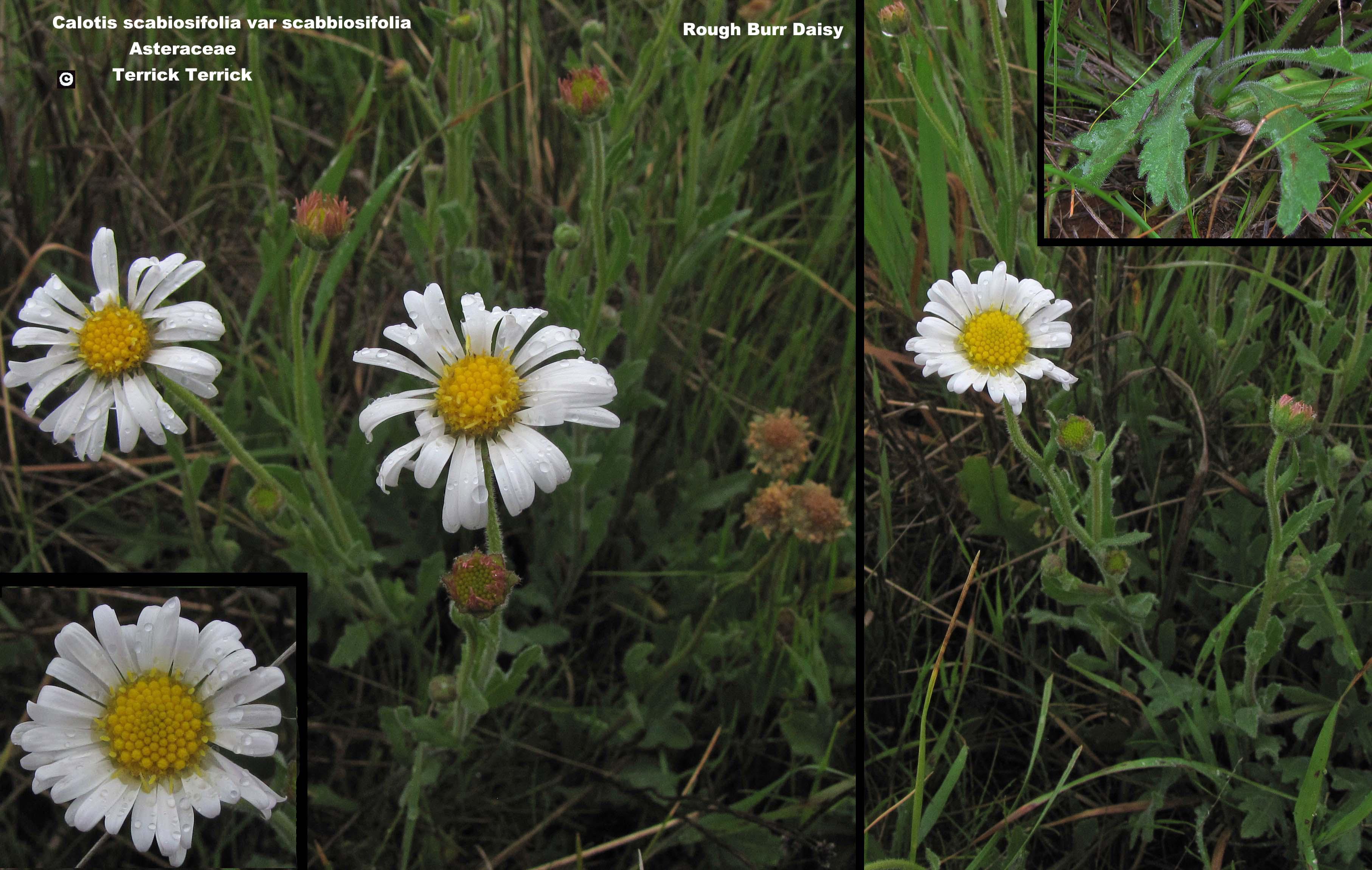 Rough Burr-daisy