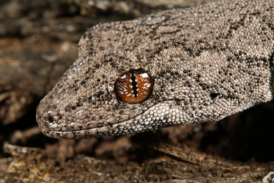Eastern Spiny-tailed Gecko